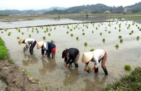 Nông dân huyện Văn Yên cấy lúa đông xuân.