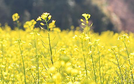 Những bông hoa cải mỏng mảnh, nhỏ xinh và rực rỡ một màu vàng trong gió tạo thành một triền hoa tuyệt đẹp.