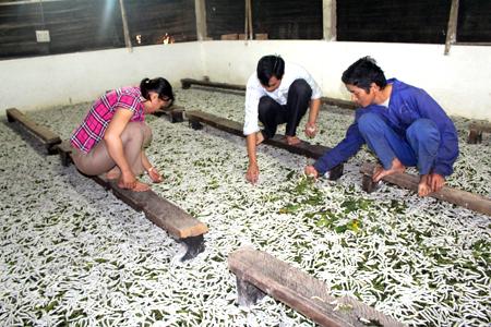 Huyện Trấn Yên tập trung phát triển nghề dâu tằm để khai thác tiềm năng kinh tế địa phương.