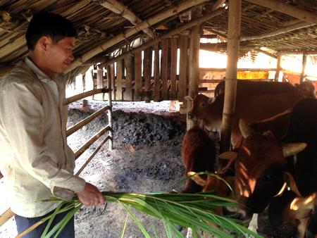 Anh Hoàng Văn Tiện chăm sóc đàn bò.