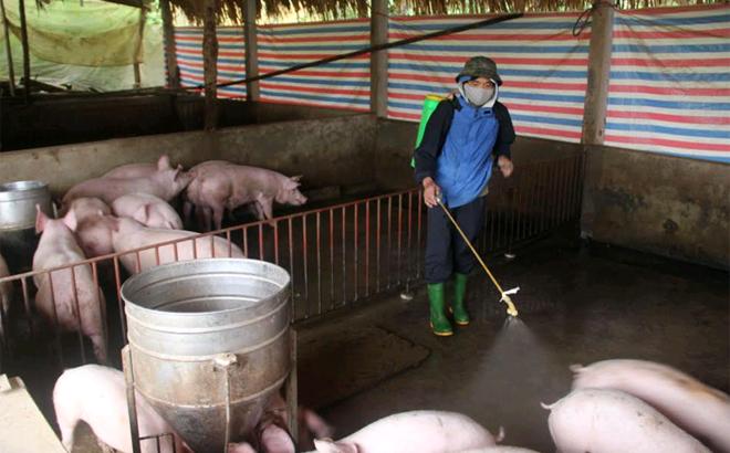Thành phố Yên Bái tăng cường phun tiêu độc khử trùng chuồng trại nuôi lợn. (Ảnh: Minh Huyền)