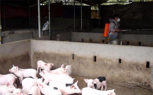 Phun tiêu độc khử trùng chuồng trại lợn ở thành phố Yên Bái. (Ảnh: Minh Huyền)