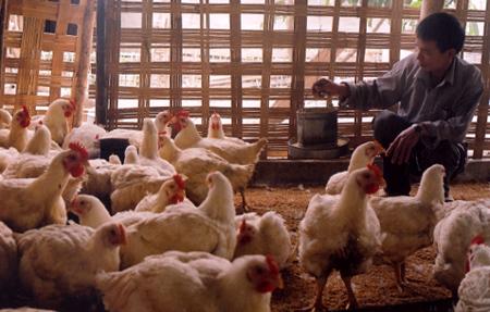 Phát triển chăn nuôi gà thương phẩm nâng cao thu nhập cho các hộ gia đình ở thị xã Nghĩa Lộ.