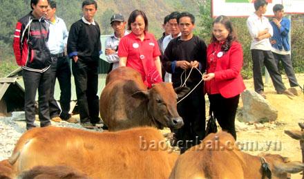 """Lãnh đạo Hội Chữ thập đỏ tỉnh Yên Bái trao bò hỗ trợ trong Dự án """"Ngân hàng bò"""" cho người dân được hưởng lợi tại huyện Mù Cang Chải."""