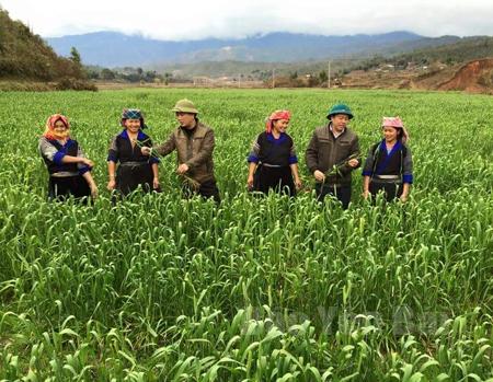 Lãnh đạo huyện Mù Cang Chải kiểm tra mô hình trồng thử nghiệm lúa mỳ tại xã Nậm Khắt.
