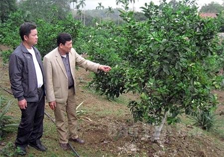 Toàn xã Yên Thắng đã có 98 ha cây ăn quả, trong đó có 15 ha cam, quýt giống mới.