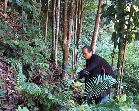 Ông Đặng Văn Nam chăm sóc vườn quế của gia đình.