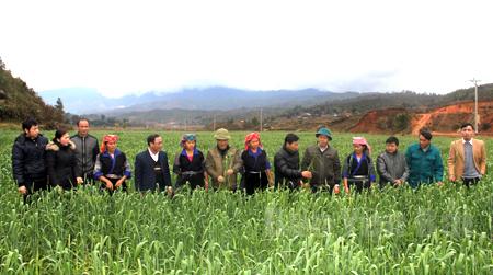 Lãnh đạo huyện Mù Cang Chải thăm mô hình phát triển cây lúa mì  ở xã Nậm Khắt.