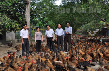 Lãnh đạo huyện Lục Yên thăm quan mô hình nuôi gà đặc sản ở địa phương cho hiệu quả kinh tế cao.