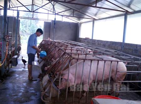 Khu chuồng nuôi lợn nái của anh Tiến.