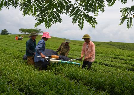 Nông dân Văn Chấn đưa cơ giới vào thu hoạch chè búp tươi.