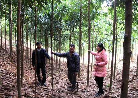 Đồi quế trên 10 ha của gia đình ông Nguyễn Xuân Dương, thôn 4, xã Tân Đồng (người đứng giữa) cho thu nhập trên 100 triệu đồng/năm từ thu cành lá.