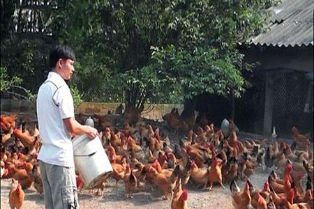 Các mô hình chăn nuôi gà thịt 300 con/lứa trở lên đang được phát triển ở Mai Sơn, tạo việc làm, thu nhập ổn định cho người dân.