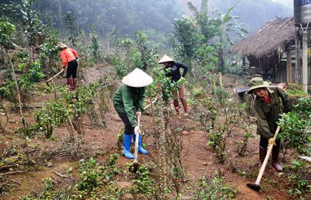 Nhóm hộ gia đình liên kết sản xuất, kinh doanh quế ở xã Đào Thịnh, huyện Trấn Yên chăm sóc quế trồng xen canh.