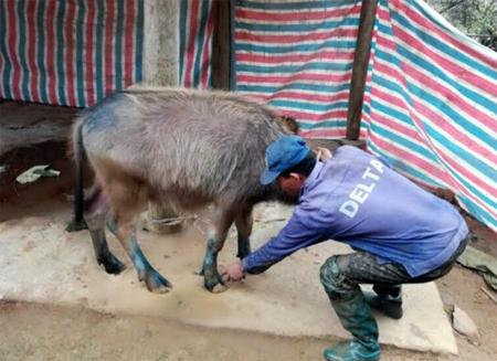 Thú y viên cơ sở xã Động Quan, huyện Lục Yên kiểm tra trâu có biểu hiện của bệnh lở mồm long móng.