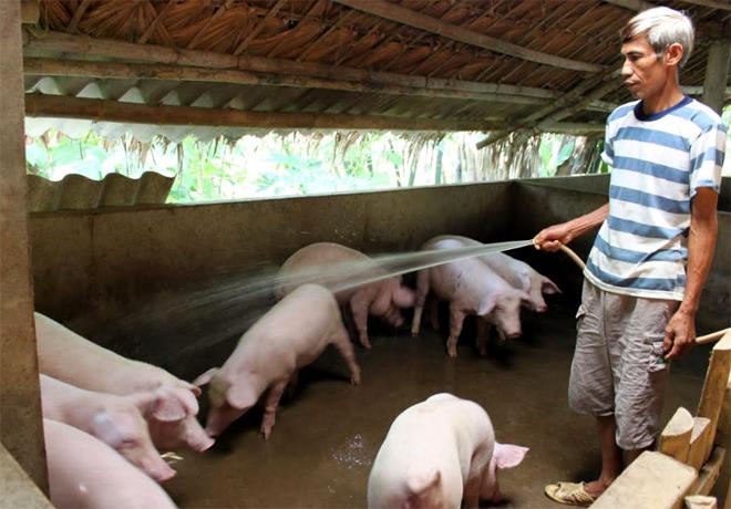 Nông dân huyện Lục Yên tăng cường các biện pháp phòng bệnh dịch tả lợn châu Phi.
