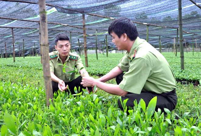 Cán bộ kiểm lâm huyện Văn Chấn kiểm tra cây giống để cung ứng cho niên vụ trồng rừng 2019.