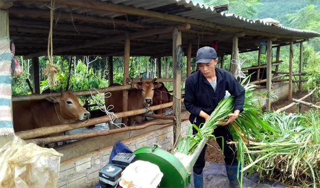 Mô hình chăn nuôi bò bán công nghiệp của nông dân xã Xuân Tầm đang phát huy hiệu quả.