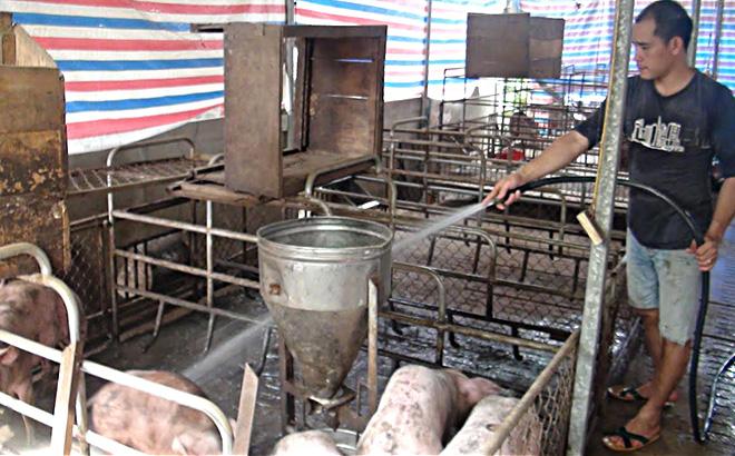 Người chăn nuôi Lục Yên tái đàn sau khi hết dịch tả lợn châu Phi.