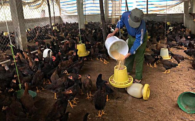 Với gần 5.000 con gà sắp đến kỳ xuất chuồng, gia đình ông Lê Văn Hùng ở tổ 1, thị trấn Yên Bình, huyện Yên Bình rất lo lắng nếu giá tiếp tục giảm.