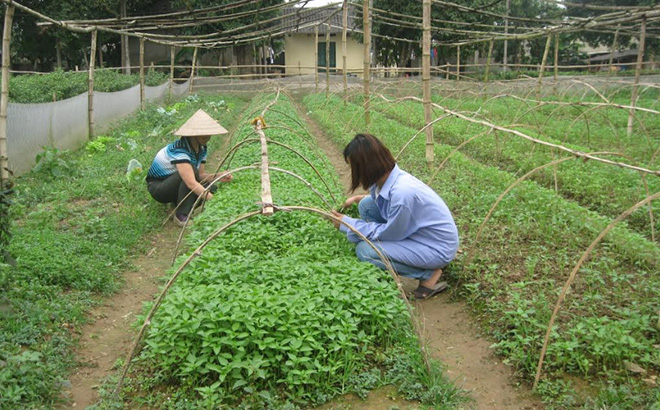 Nhân dân xã Tuy Lộc chăm sóc rau vụ xuân.