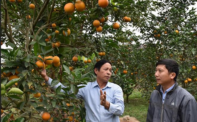 Mô hình trồng cam cho thu nhập cao của người dân xã Yên Thắng.