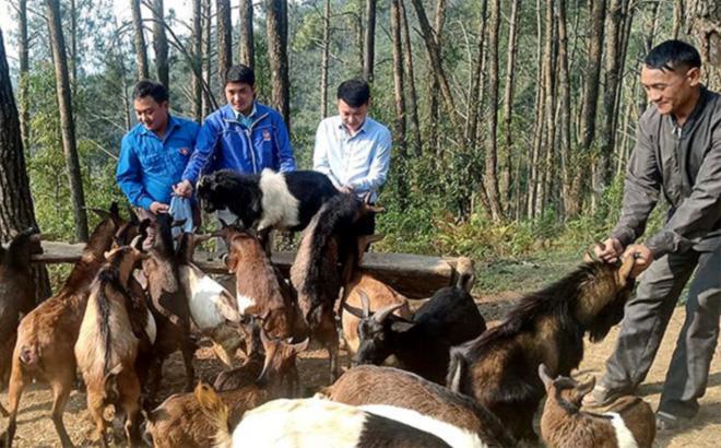 Tổ hợp tác chăn nuôi dê của đoàn viên thanh niên xã Púng Luông, huyện Mù Cang Chải.