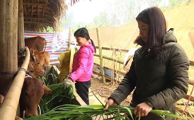Mô hình chăn nuôi bò của gia đình chị Hường mang lại hiệu quả kinh tế cao.