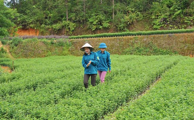 Cán bộ Ban Quản lý Rừng phòng hộ Mù Cang Chải kiểm tra cây sơn tra giống để cung ứng cho nhân dân trồng rừng kinh tế.