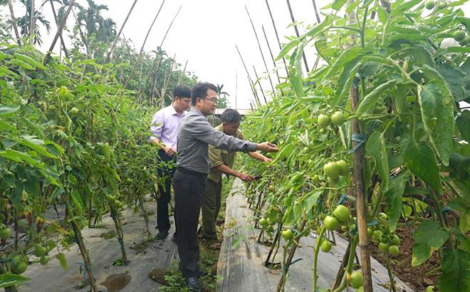 Lãnh đạo cấp ủy, chính quyền xã thăm mô hình trồng cà chua sạch của xã viên Hợp tác xã Sản xuất rau an toàn xã Âu Lâu.
