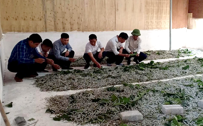 Nghề trồng dâu, nuôi tằm bước đầu đã cho hiệu quả kinh tế ở Hồng Ca.