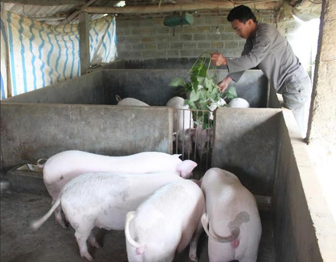Sau khi hết dịch, nhiều hộ chăn nuôi trên địa bàn tỉnh đã cơ cấu lại đàn lợn và mang lại hiệu quả kinh tế cao.