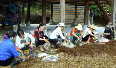 Lớp học nghề trồng nấm tại xã Phúc Sơn.