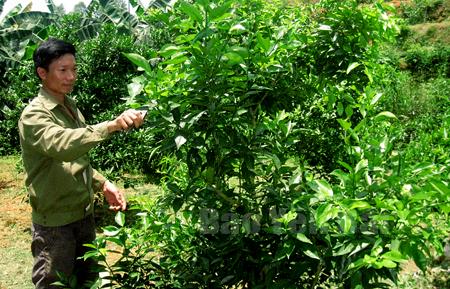 Đến nay, xã Hưng Thịnh đã có gần 100 ha cây ăn quả đem lại nguồn thu nhập đáng kể cho nông dân. (Trong ảnh: Anh Nguyễn Văn Tươm ở thôn Yên Định chăm sóc quýt).