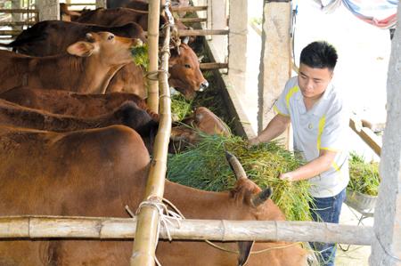 Đề án tái cơ cấu ngành nông nghiệp thúc đẩy phát triển chăn nuôi hàng hóa trong nhân dân Văn Yên.