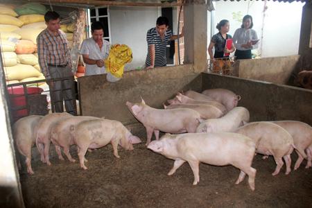 Nhiều mô hình chăn nuôi lợn của xã Phù Nham thu nhập 100 triệu đồng/năm.