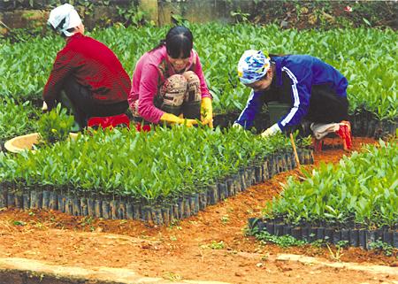 Nông dân Văn Chấn chăm sóc cây giống phục vụ trồng rừng vụ xuân. (Ảnh: Thanh Miền)