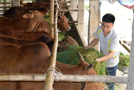 Anh Nguyễn Văn Được chăm sóc đàn bò của gia đình.