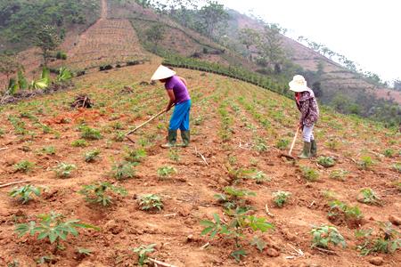 Nông dân xã Mậu Đông canh tác sắn bền vững bằng cách trồng sắn xen các cây họ đậu.
