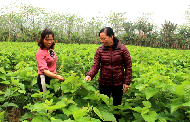 Nghề trồng dâu nuôi tằm được phát triển rộng tại nhiều huyện trong tỉnh mang lại nguồn thu nhập cho người dân. (Ảnh: Minh Huyền)