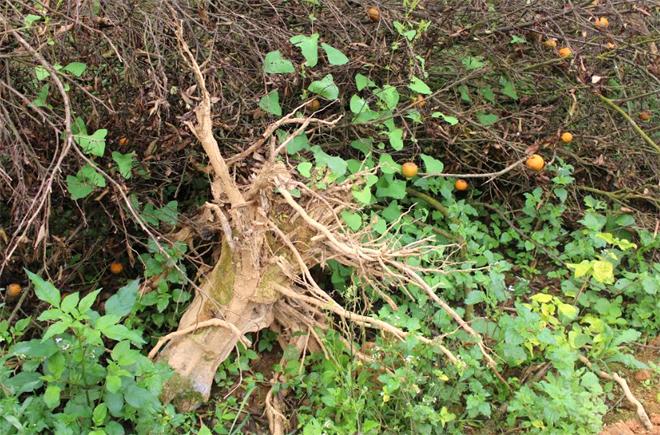 Những gốc cam chết được người dân thị trấn Nông trường Trần Phú chặt bỏ.