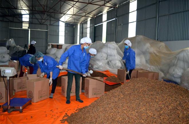 Học tập Bác, công nhân lao động Hợp tác xã Quế hồi Việt Nam tại huyện Trấn Yên tiết kiệm thời gian, hăng say lao động sản xuất.