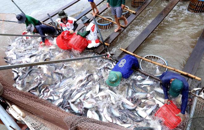 Thu hoạch cá tra.