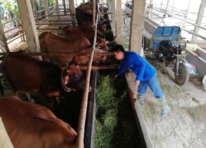 Mô hình nuôi bò bán công nghiệp của anh Nguyễn Văn Được.
