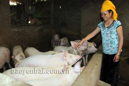 Người dân xã Nghĩa Lợi, thị xã Nghĩa Lộ phát triển chăn nuôi lợn, đem lại hiệu quả kinh tế cao. (Ảnh: Hồng Duyên)