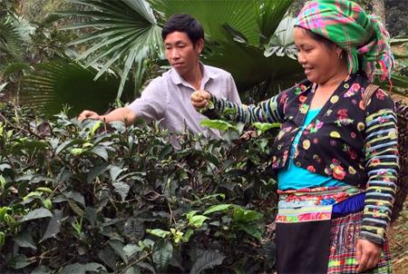 Vợ chồng anh Sổng A Chư  thu hái chè bán ra thị trường, tăng thêm thu nhập cho gia đình.