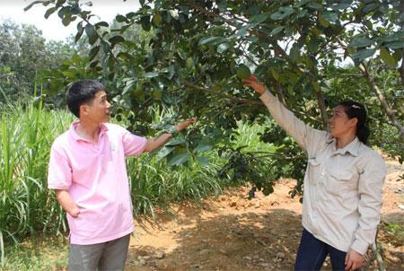 Vườn bưởi của gia đình anh Kiên, chị Liện hàng năm cho thu nhập khá cao.