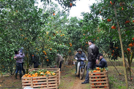 Các hộ dân ở thị trấn Nông trường Trần Phú thu hoạch cam.