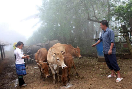 Đàn gia súc của anh Vàng A Tông ở bản Mú Cái Hồ.