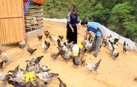 Mô hình nuôi gà đen của Vàng A Công ở bản Mí Háng Tâu, xã Púng Luông cho thu nhập khoảng 50 triệu đồng/lứa.